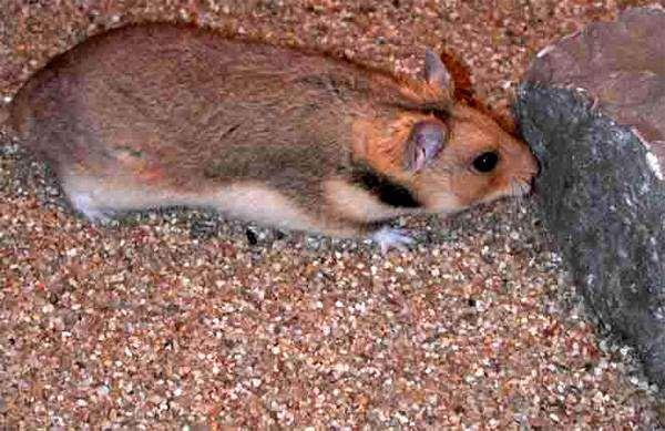 Прометеева полевка (Prometheomys schaposchnikovi), фото грызуны фотография картинка животные