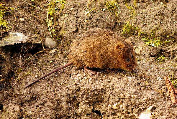 Водяная крыса, водяная полевка (Arvicola terrestris), фото грызуны фотография картинка