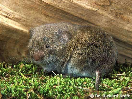 Подземная полевка (Microtus subterraneus), фото грызуны фотография картинка