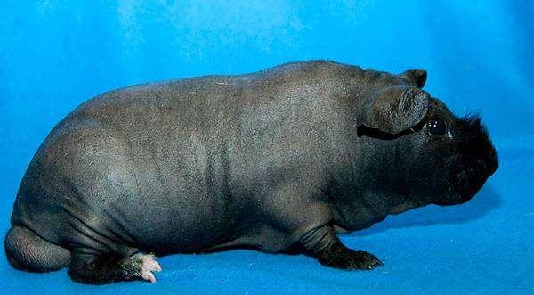 Морская свинка Скинни, фото грызуны фотография содержание морских свинок