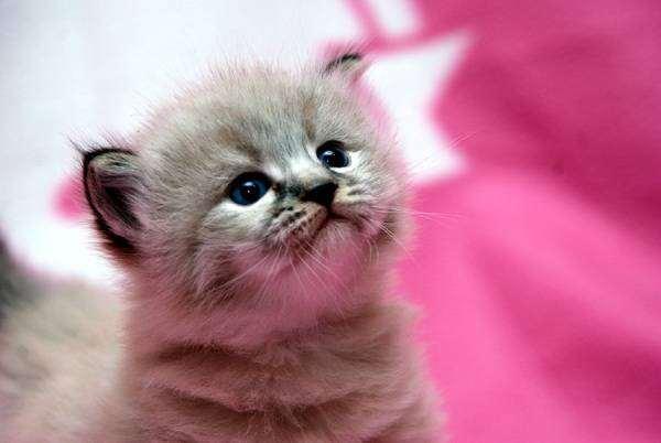 Котенок сибирской кошки, фото вопросы о кошках ответы фотография