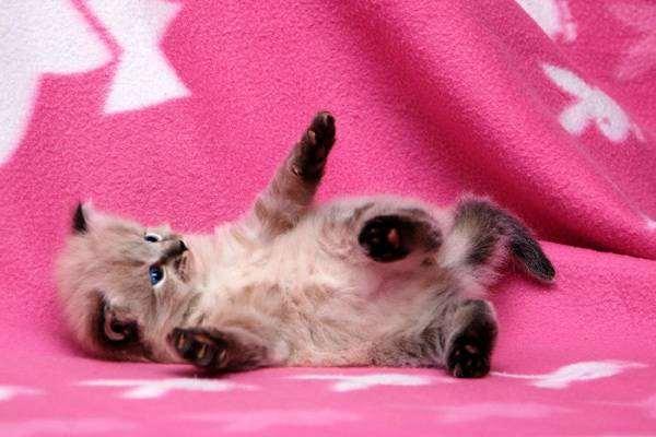Котенок сибирской кошки, фото вопросы о кошках фотография
