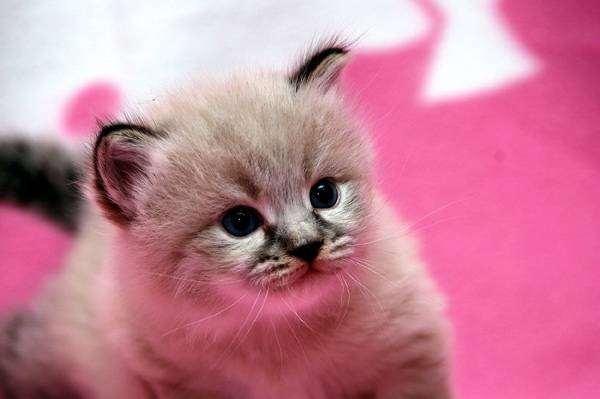 Сибирский котенок, фотография вопросы про кошек фото