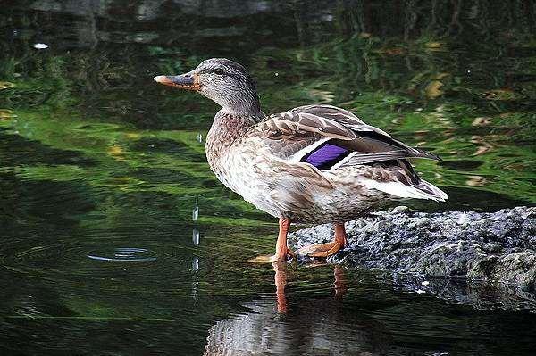 Утка у воды, фото новости о животных птицы фотография