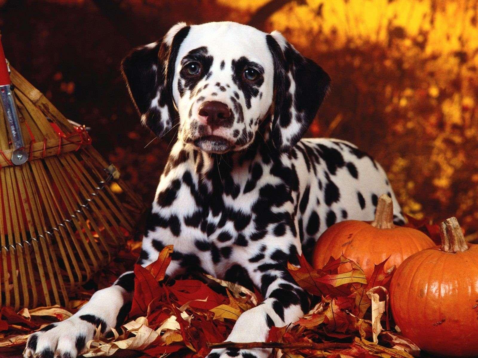 Далматин, фото породы собак фотография