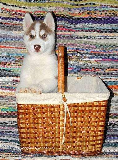 Щенок сибирского хаски, фото воспитание щенка фотография