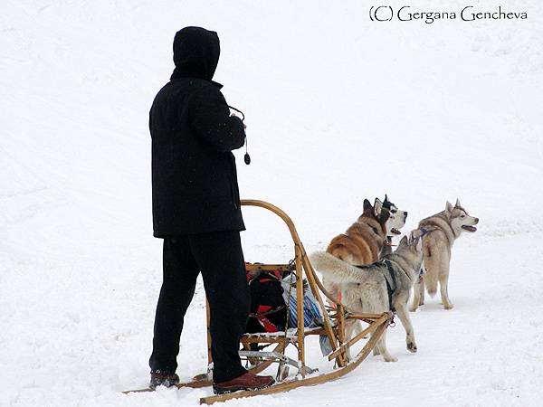 Упряжка с сибирскими хаски, фото собаки фотография