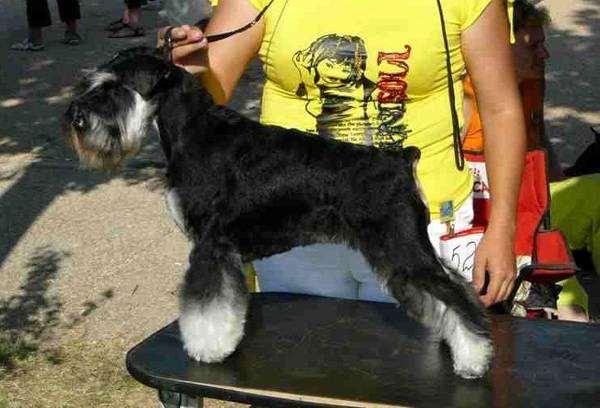 Цвергшнауцер, фото уход за шерстью собаки фотография