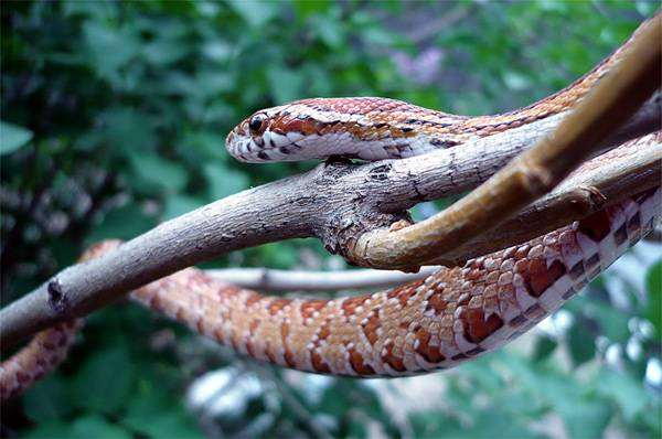 Маисовый полоз (Elaphe guttata), фото вопросы о змеях фотография