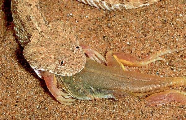 Змея, поедающая пожирающая добычу, фото фотография рептилии картинка