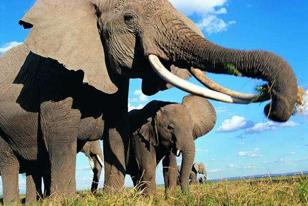 Африканский слон (Loxodonta  africana), фото фотография животные