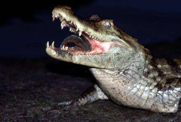 Крокодил, фото фотография рептилии