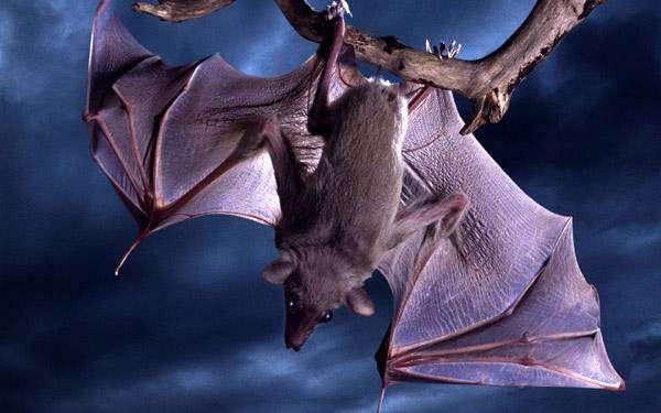 Летучая мышь, фото фотография рукокрылые животные