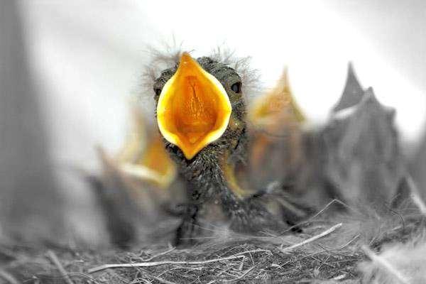 Птенец с открытым ртом, фото фотография птицы