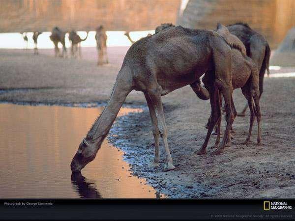 Верблюд пьет воду, фото фотография животные