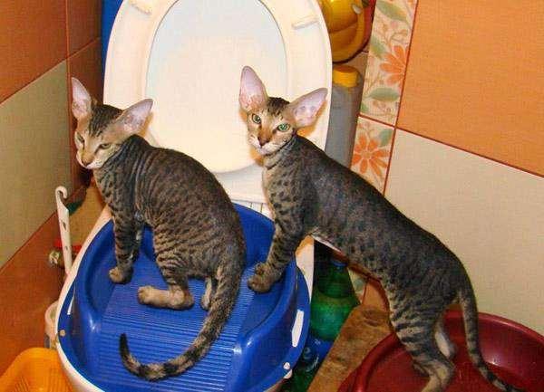 Котята петерболды, или петербургские сфинксы, фото породы кошек фотография