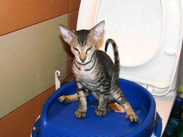 Котенок петерболда сидит на унитазе, фото породы кошек фотография сфинкс
