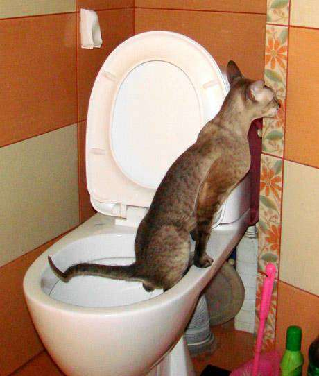 Петербургский сфинкс ходит в унитаз, фото породы кошек фотография