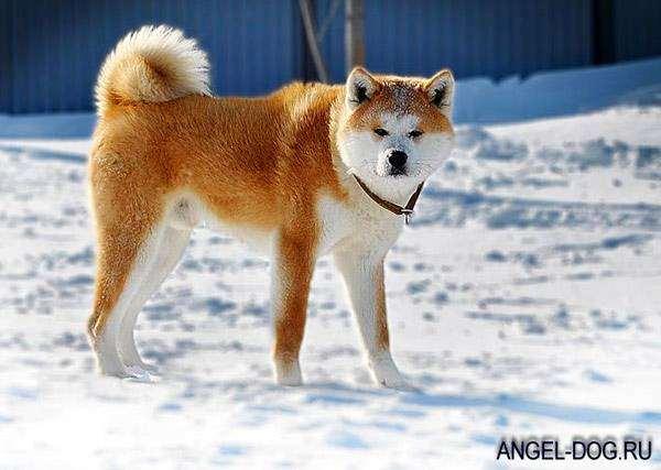 Американская акита, фото собаки, фото породы собак