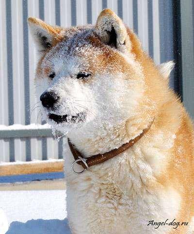 Японская акита, фото породы собак фотография