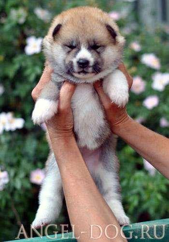 Щенок японской акиты акита, фото породы собак фотография