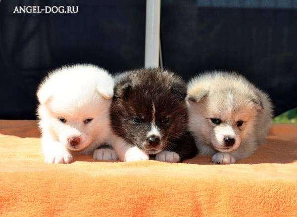 Щенки акиты (японская акита), фото породы собак фотография