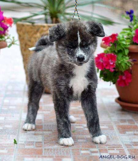 Щенок японской акиты, фото породы собак фотография картинка