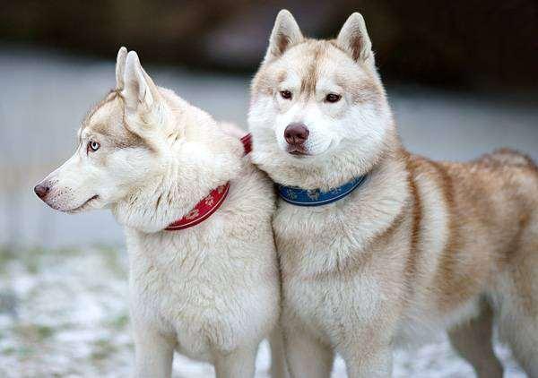 Сибирские хаски, фото породы собак фотография