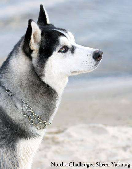 Сибирский хаски, фото собаки фотография картинка