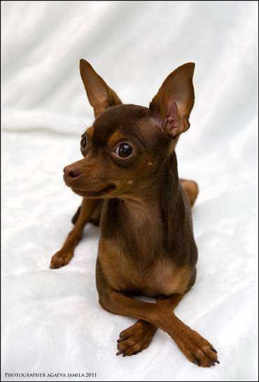 Гладкошерстный русский той-терьер, фото собаки, фотография породы собак