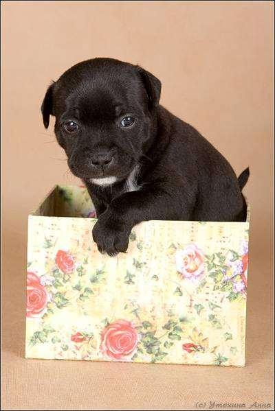 Щенок стаффордширского бультерьера, фото породы собак фотография картинка