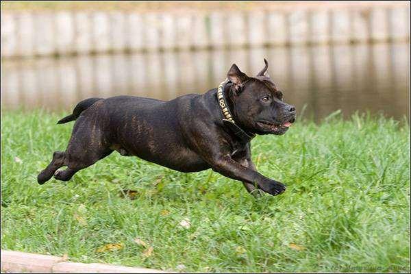 Стаффордширский бультерьер, фото породы собак фотография