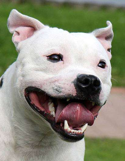 Стаффордширский бультерьер, фото породы собак картинка