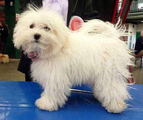 Болоньез, или итальянская болонка, фото породы собак фотография картинка