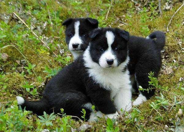 Щенки карельской медвежьей собаки, фото породы собак изображение