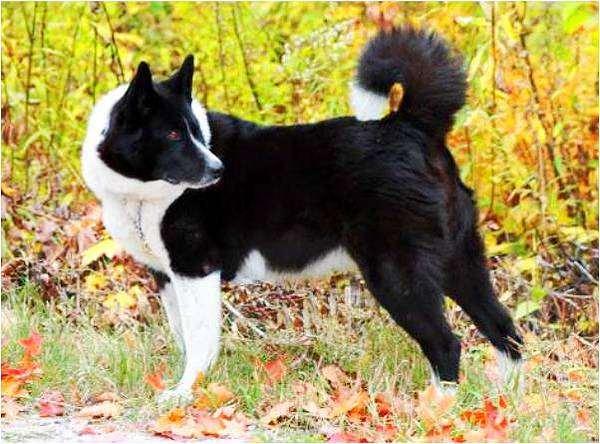 Карельская медвежья собака, фото породы собак картинка