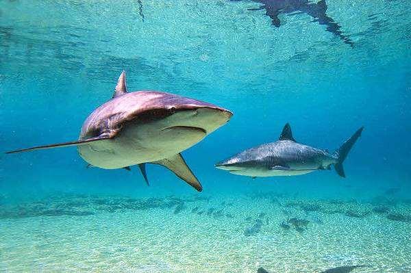Акула-бык, тупорылая акула  (Carcharhinus leucas), фото рыбы фотография