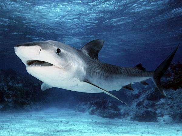 Тигровая акула (Galeocerdo cuvier), фото опасные рыбы фотография