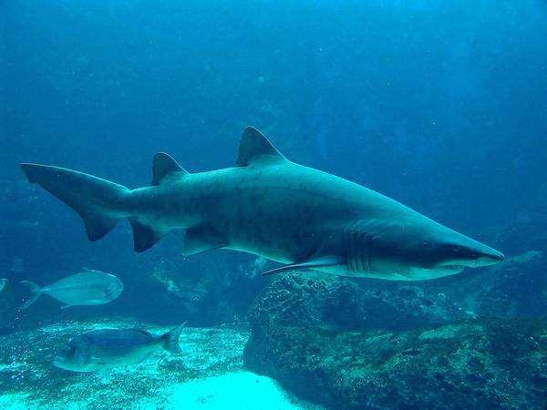 Песчаная акула (Carcharias taurus), фото рыбы фотография