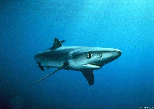 Голубая, или синяя акула (Prionace glauca), фото рыбы фотография
