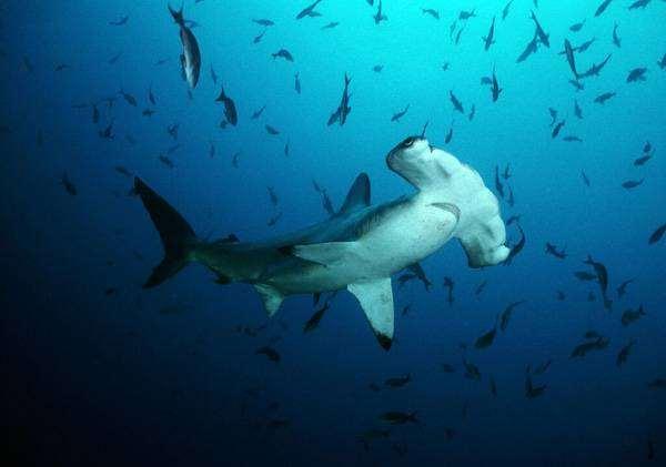 Акула-молот (Sphyrna), фото рыбы картинка
