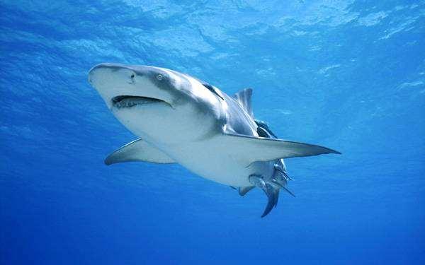Лимонная, или жёлтая акула (Negaprion brevirostris), фото рыбки изображение