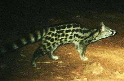Эфиопская генетта (Genetta abyssinica), фото хищные животные фотография