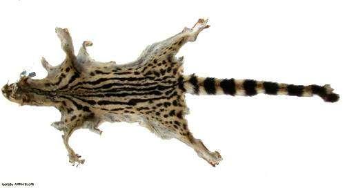 Шкура эфиопской генетты (Genetta abyssinica), фото изображение картинка хищники