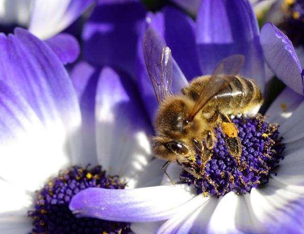 Медоносная пчела, фото насекомые фотография