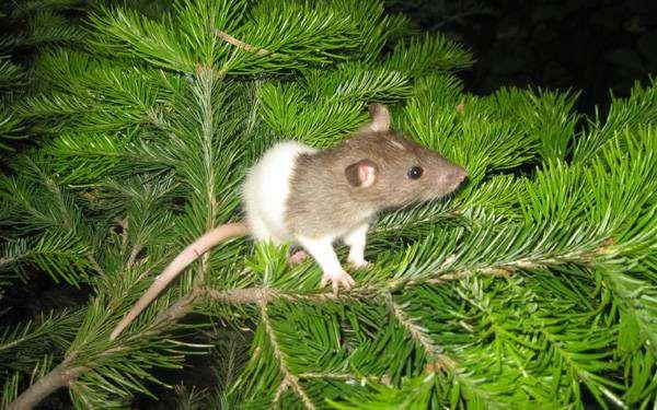 Декоративная крыса, фото грызуны картинка