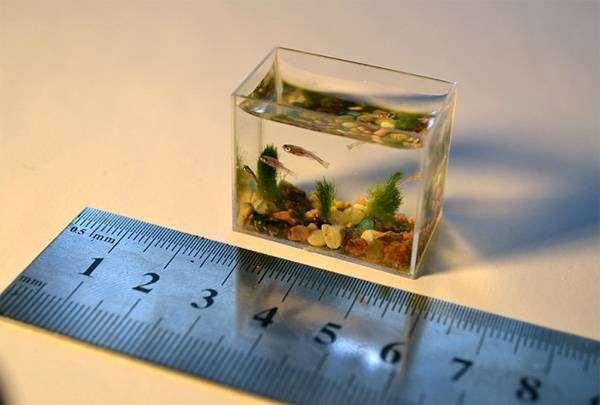 Рыбка Paedocypris progenetica, самое маленькое водное животное на планете, фото рыбы фотография
