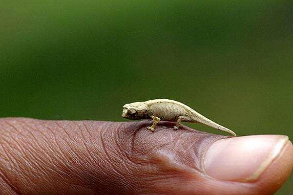 Хамелеон малая брукезия (Brookesia minima), самая маленькая мелкая рептилия на Земле, фото рептилии картинка