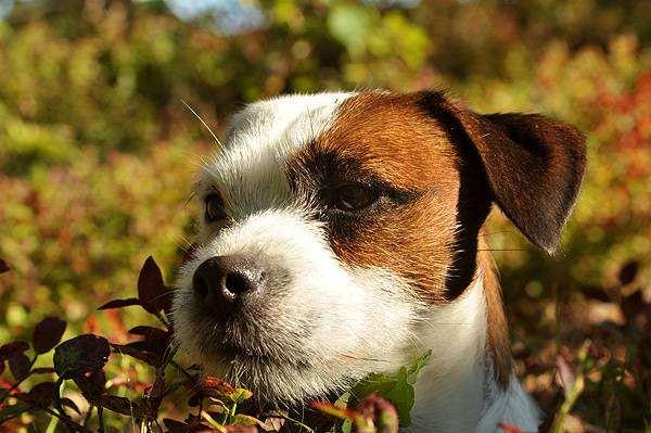 Джек-рассел-терьер, фото вопросы о собаках фотография