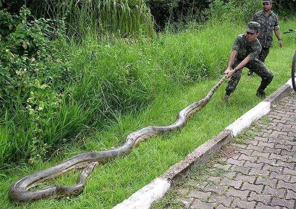 Анаконда (Eunectes murinus), фото рептилии змеи фотография